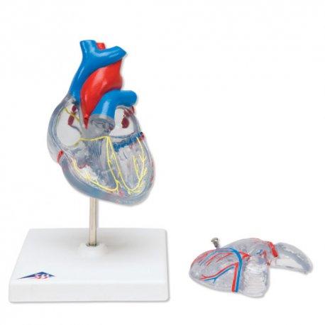 Model srdce s přívodním systémem - 2 části