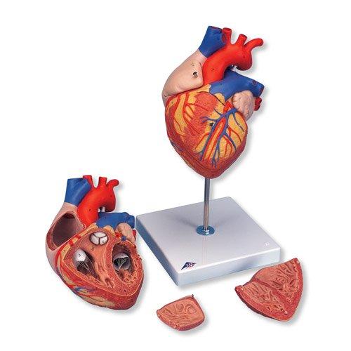 Model lidského srdce - velký - 4 části