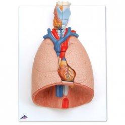 Model lidských plic s hrtanem - 7 částí