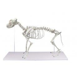 Model kostry kočky domácí - sestaveno