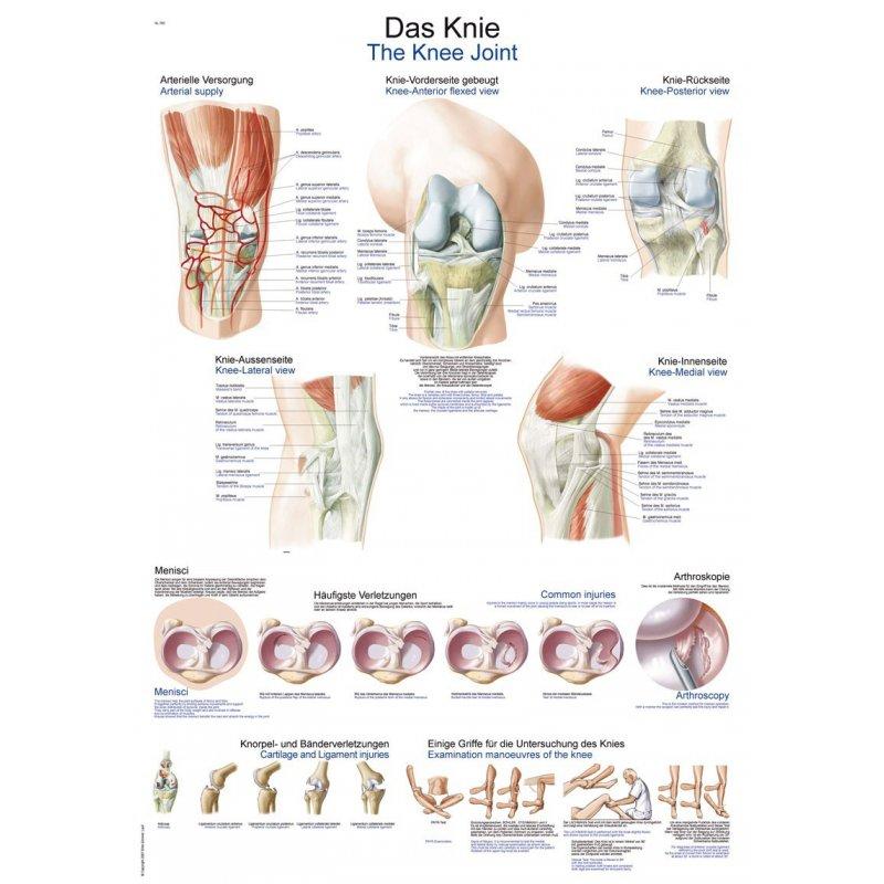 Schéma - anatomie kolene