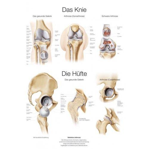 Schéma - anatomie lidské kyčle a kolene