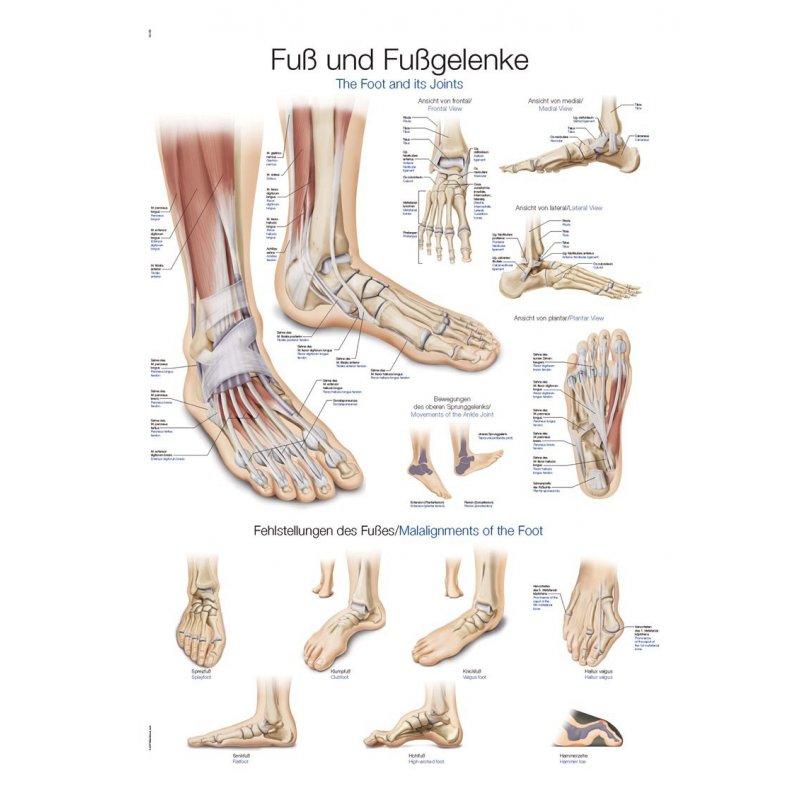 Schéma - anatomie chodidla a kotníku