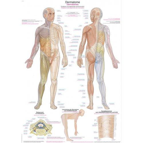 Schéma - dermatomy