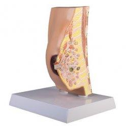 Model průřezu ženským prsem