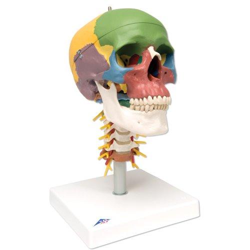 Model lidské lebky na krční páteři - didaktická - 4 části