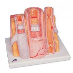 Model lidské tepny a žíly - mikroanatomický