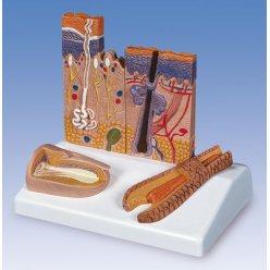 Model lidské kůže, vlasů a nehtů
