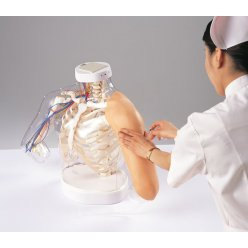 Model anatomie ramene a simulace intramuskulární injekce