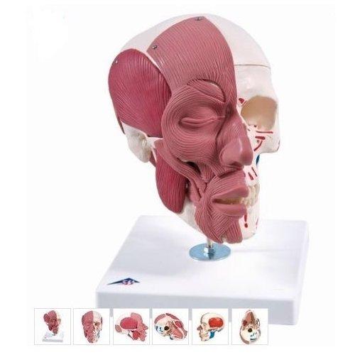 Model lebky se svaly hlavy