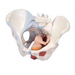 Model pánve ženy s vazy, svaly a orgány - 4 části