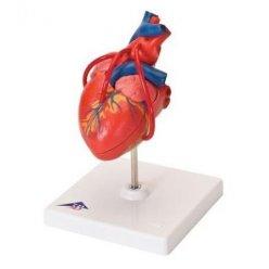 Model lidského srdce s bypassem - 2 části