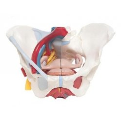 Model pánve ženy s vazy, cévami, nervy a orgány - 6 částí