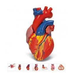 Magnetický model srdce na podstavci - 5 částí