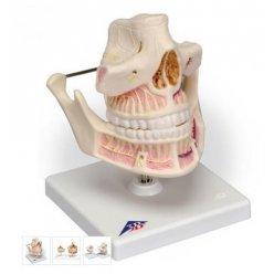 Model lidského trvalého chrupu s čelistí