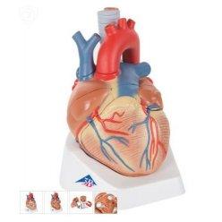 Model lidského srdce - 7 částí
