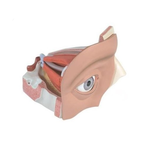 Model lidského oka - pětkrát zvětšeno - 12 částí