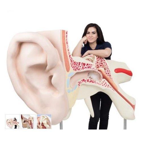 Model lidského ucha - patnáctkrát zvětšeno - 3 části