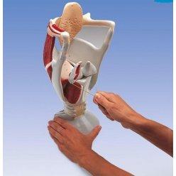 Model lidského hrtanu - funkční - čtyřikrát zvětšeno