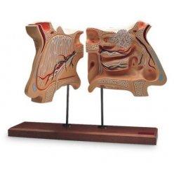 Model lidského nosu a ústrojí čichu - čtyřikrát zvětšeno
