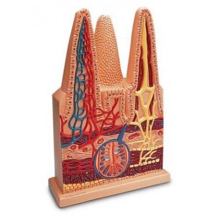 Model klků tenkého střeva - 100x zvětšeno