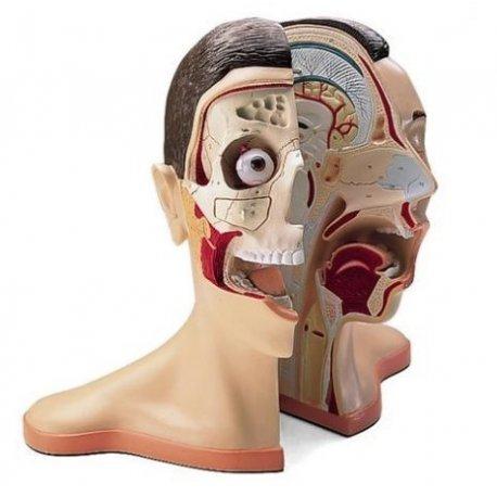 Model lidské hlavy a krku - 5 částí
