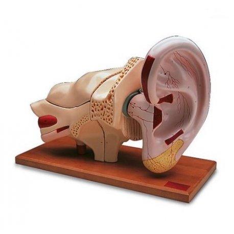 Model lidského ucha - pětkrát zvětšeno - 8 částí