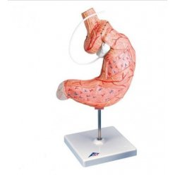 Model lidského žaludku s bandáží - 2 části