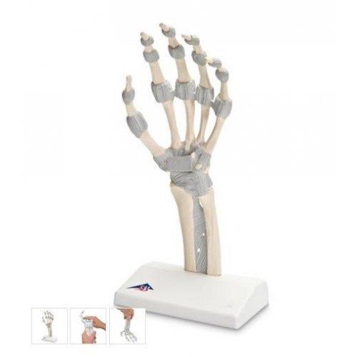 Model kostry lidské ruky s elastickými vazy