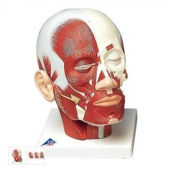 Model hlavy se svaly