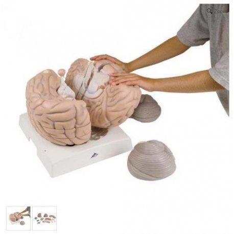 Model lidského mozku - 2.5x zvětšeno - 14 částí