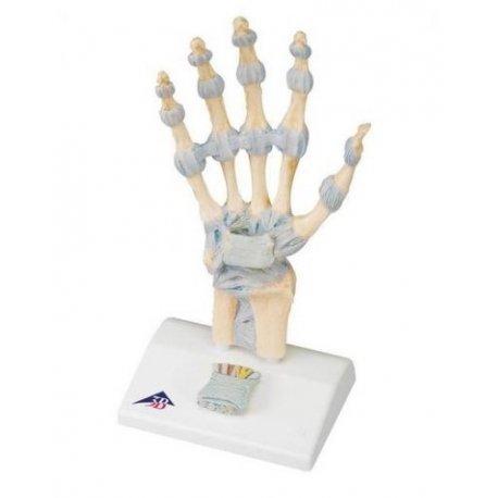 Model kostry lidské ruky s vazy a karpálním tunelem