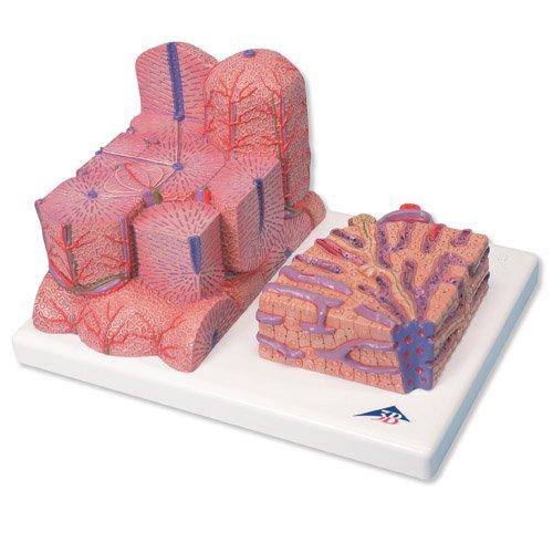 Model lidských jater - mikroanatomický