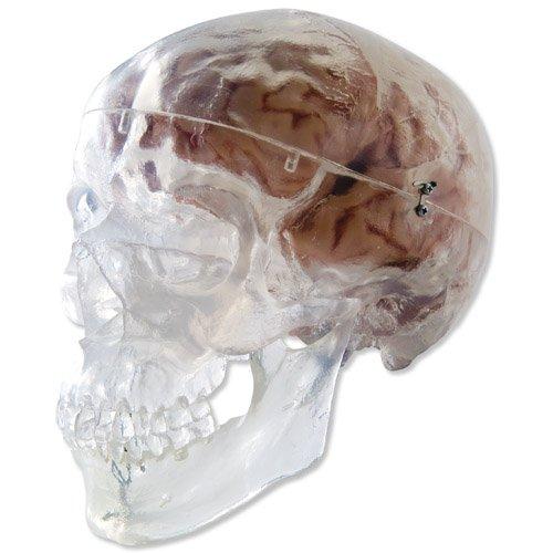 Model lidské lebky - transparentní - 3 části