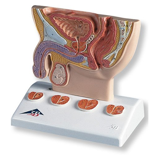 Model lidské prostaty