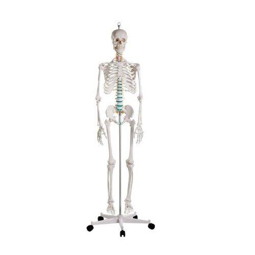 Model kostry člověka - standardní