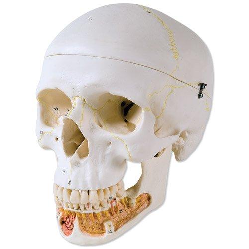 Model lidské lebky - dentální s otevřenou spodní čelistí