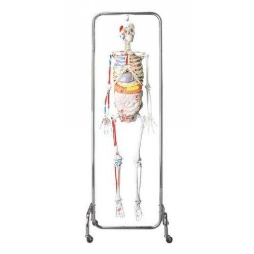 Model lidské kostry - luxusní