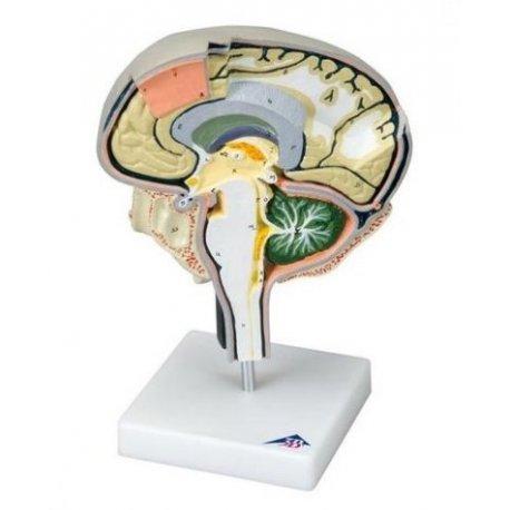Model mozku - sagitální řez