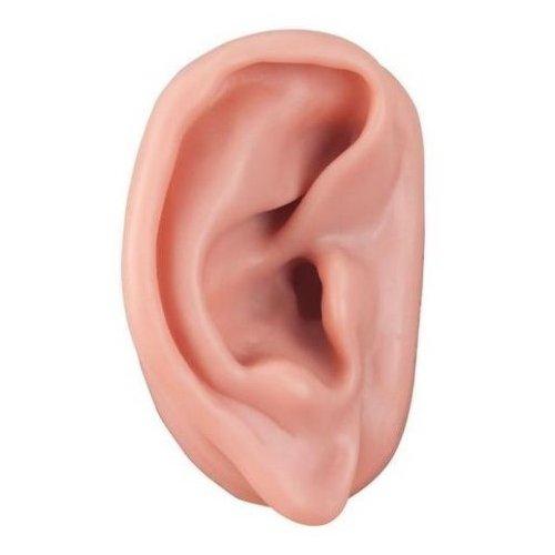 Model ucha pro akupunkturu - pravé
