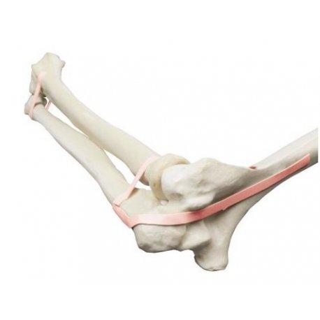 Model lidského loketního kloubu - ORTHObones