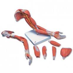 Model svalstva horní končetiny - luxusní - 6 částí