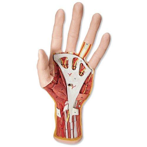 Model lidské ruky - vnitřní stavba - 3 části