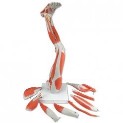 Model dolní končetiny se svaly - 9 částí