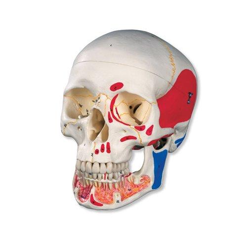 Model lidské lebky s otevřenou spodní čelistí a malovanými svaly - 3 části
