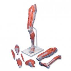 Model svalstva dolní končetiny - luxusní - 7 částí