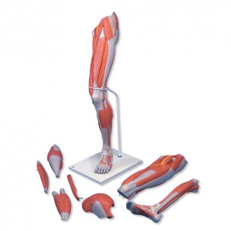 Luxusní model svalstva dolní končetiny - 7 částí