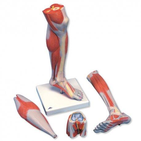 Luxusní model svalstva dolní končetiny - bérec a koleno - 3 část