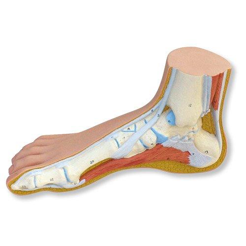 Model lidské nohy - normální noha