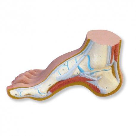 Model nohy - klenutá noha